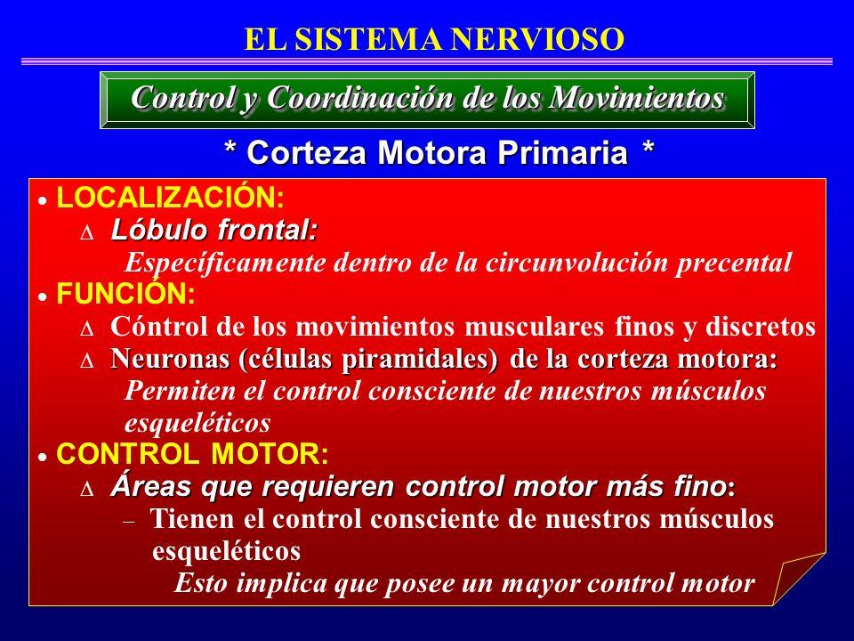 Control y Coordinación de los Movimientos * Corteza Motora Primaria *