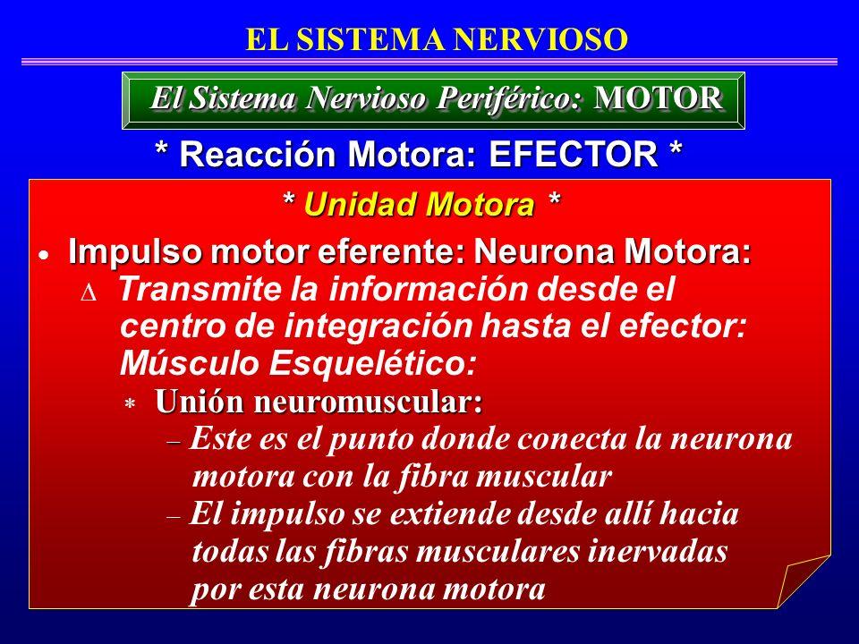 El Sistema Nervioso Periférico: MOTOR * Reacción Motora: EFECTOR *