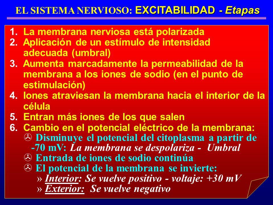 EL SISTEMA NERVIOSO: EXCITABILIDAD - Etapas