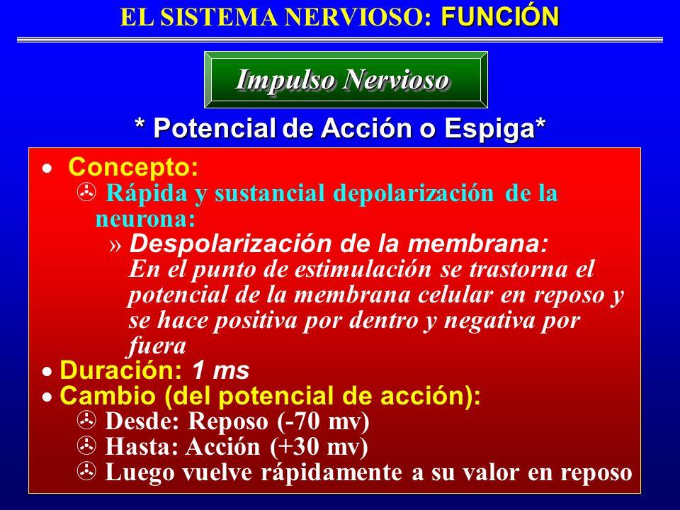 EL SISTEMA NERVIOSO: FUNCIÓN * Potencial de Acción o Espiga*