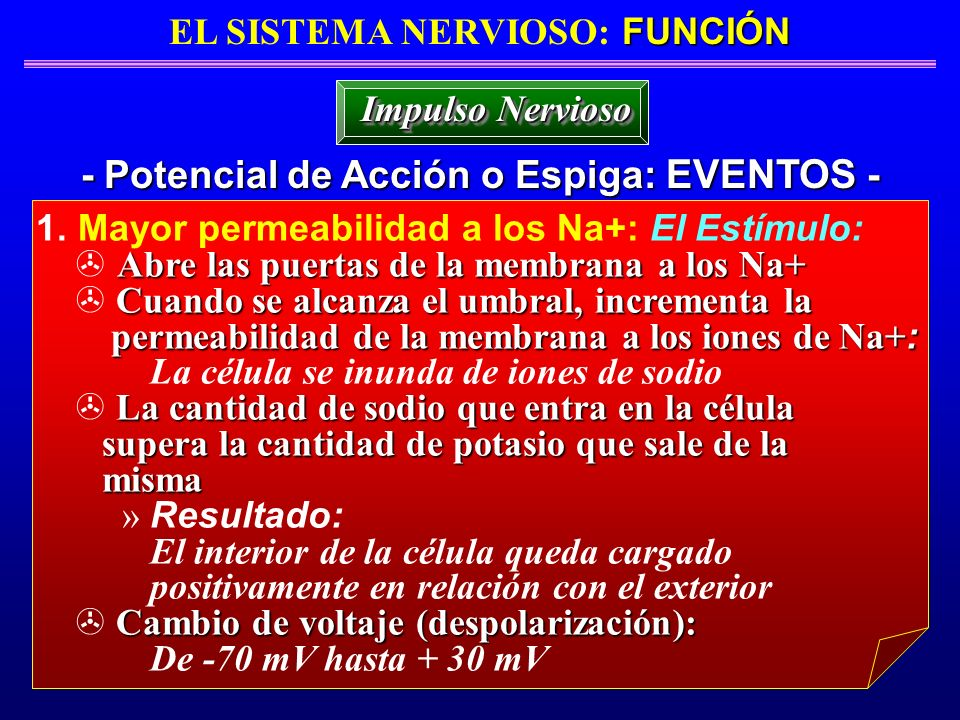 EL SISTEMA NERVIOSO: FUNCIÓN - Potencial de Acción o Espiga: EVENTOS -