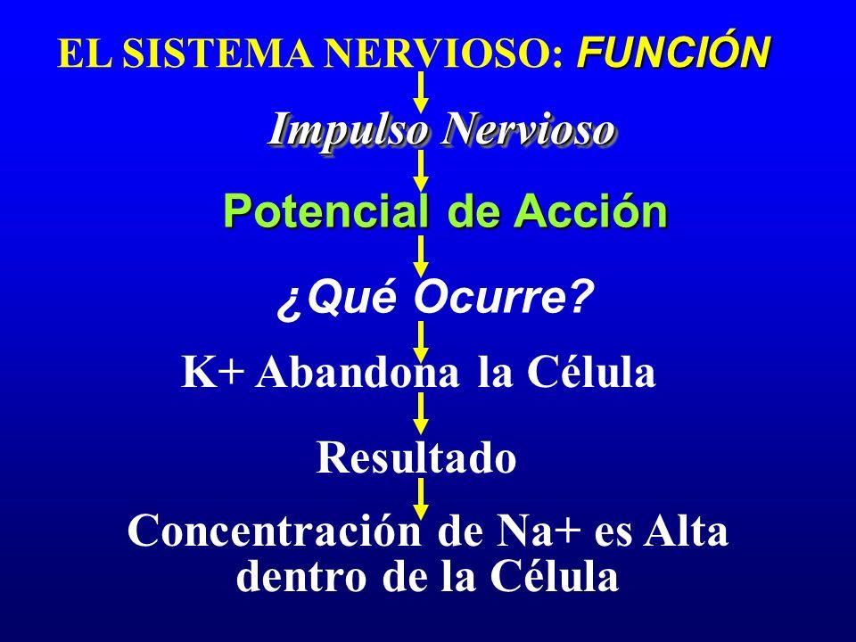 Concentración de Na+ es Alta dentro de la Célula