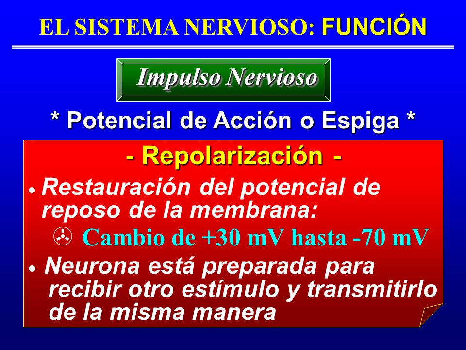 EL SISTEMA NERVIOSO: FUNCIÓN * Potencial de Acción o Espiga *