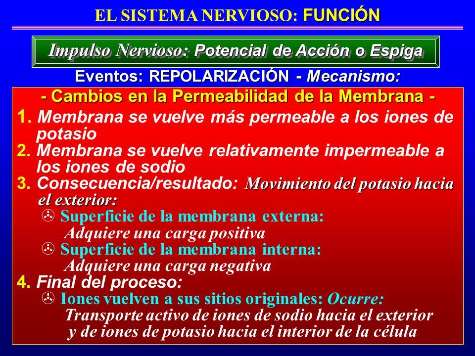 Impulso Nervioso: Potencial de Acción o Espiga