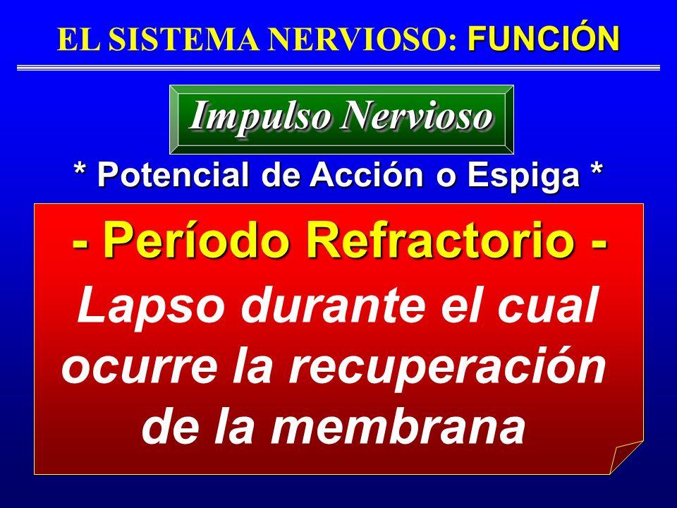 - Período Refractorio -