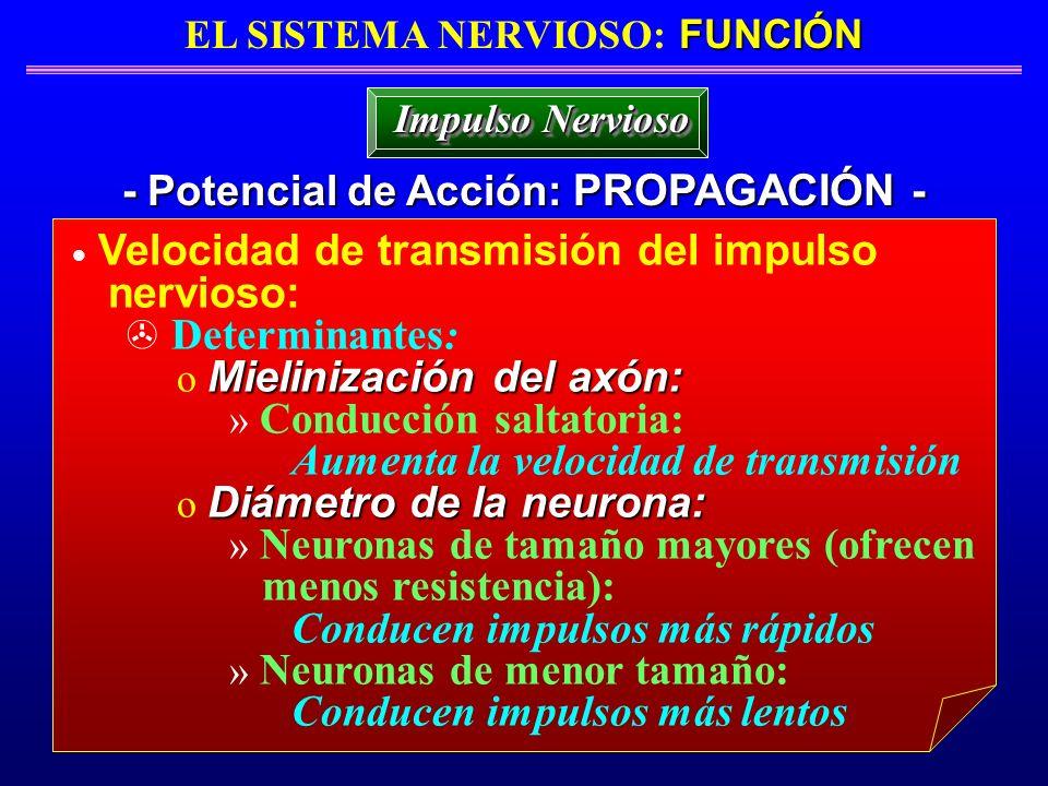 EL SISTEMA NERVIOSO: FUNCIÓN - Potencial de Acción: PROPAGACIÓN -