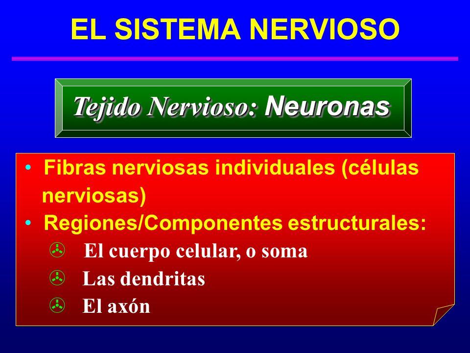 Tejido Nervioso: Neuronas