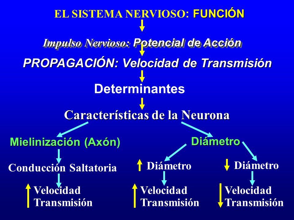 Características de la Neurona