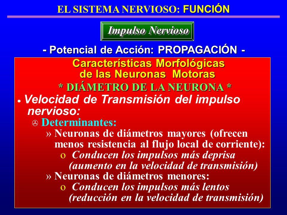nervioso: - Potencial de Acción: PROPAGACIÓN - Impulso Nervioso