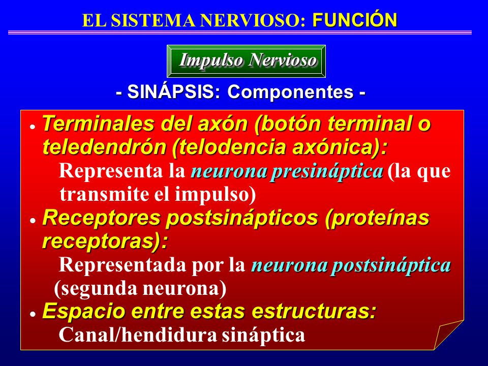 EL SISTEMA NERVIOSO: FUNCIÓN - SINÁPSIS: Componentes -