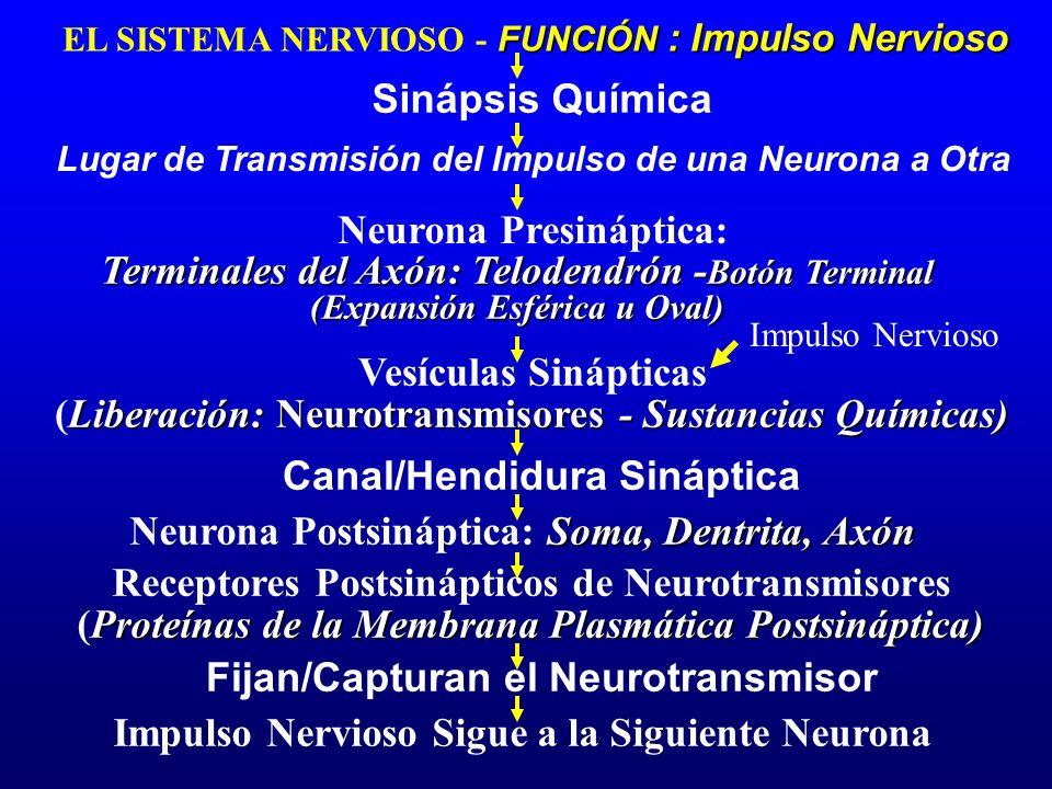 Lugar de Transmisión del Impulso de una Neurona a Otra