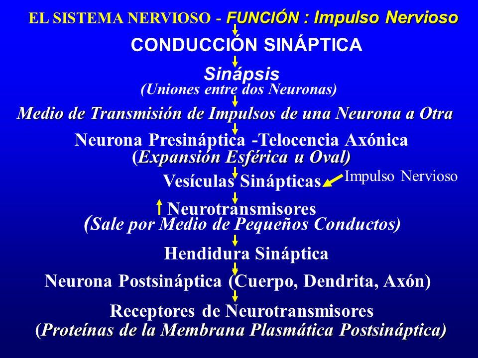 Neurona Presináptica -Telocencia Axónica