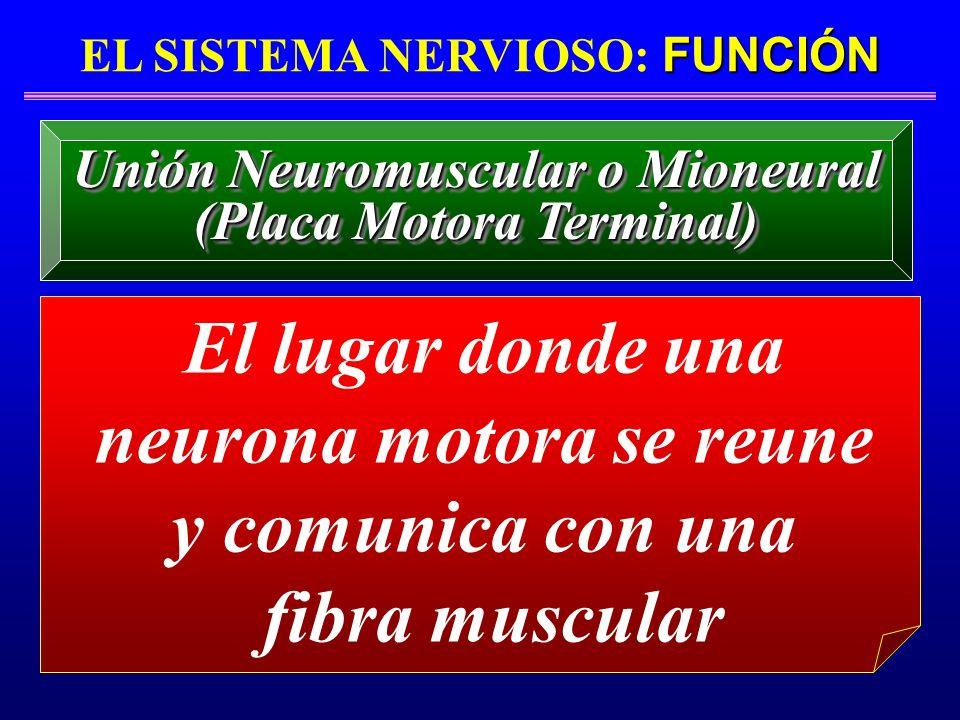 El lugar donde una neurona motora se reune y comunica con una