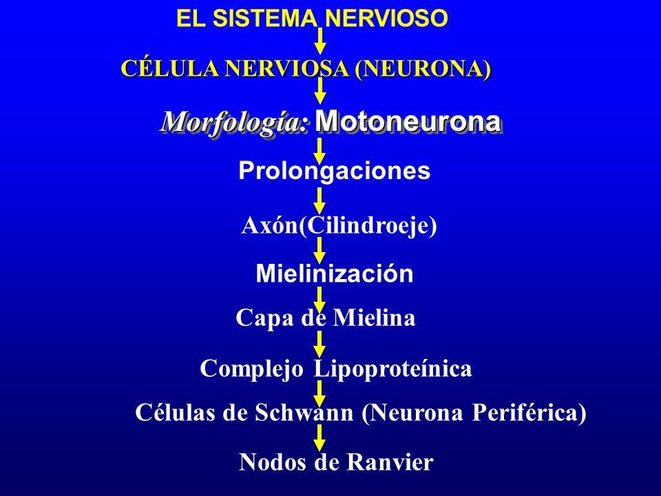 Prolongaciones Mielinización Capa de Mielina Morfología: Motoneurona