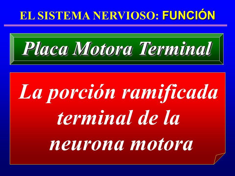 EL SISTEMA NERVIOSO: FUNCIÓN La porción ramificada terminal de la