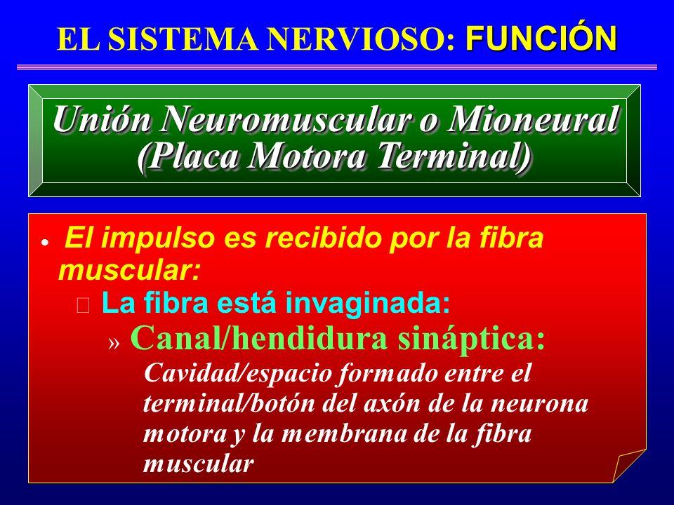 Unión Neuromuscular o Mioneural (Placa Motora Terminal)