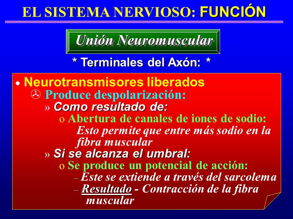 EL SISTEMA NERVIOSO: FUNCIÓN * Terminales del Axón: *