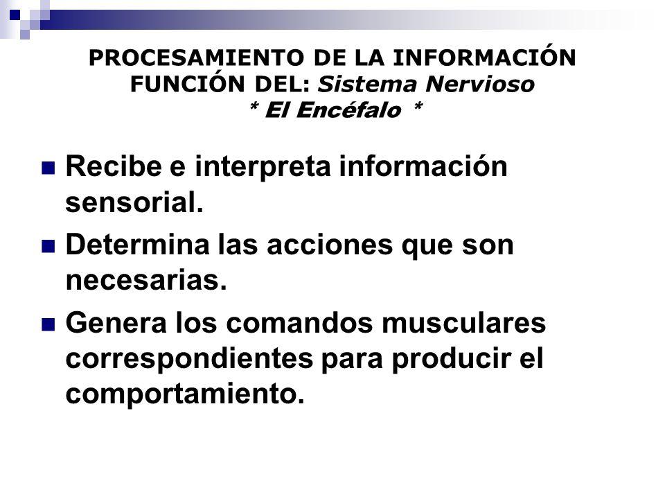 Recibe e interpreta información sensorial.