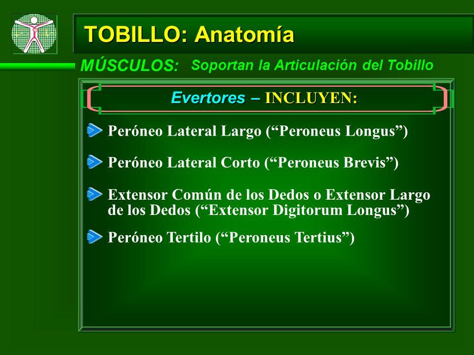 TOBILLO: Anatomía MÚSCULOS: Evertores – INCLUYEN: