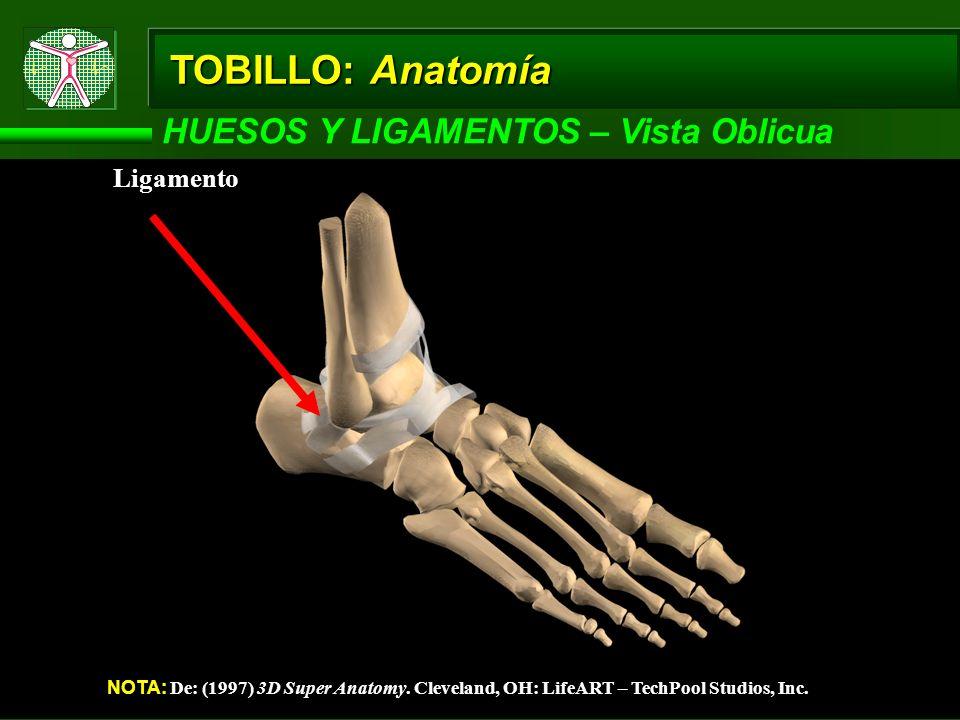 TOBILLO: Anatomía HUESOS Y LIGAMENTOS – Vista Oblicua Ligamento