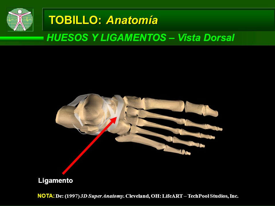TOBILLO: Anatomía HUESOS Y LIGAMENTOS – Vista Dorsal Ligamento