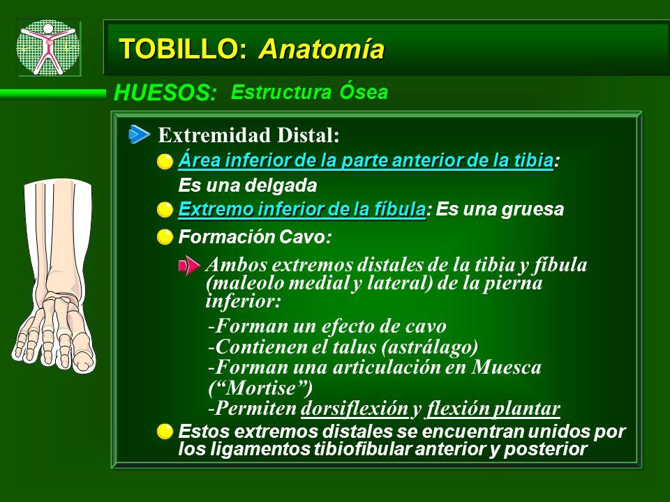 TOBILLO: Anatomía HUESOS: Extremidad Distal:
