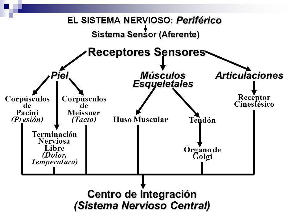 Sistema Sensor (Aferente) (Sistema Nervioso Central)