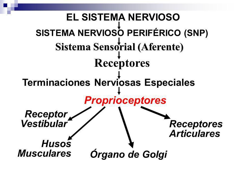 SISTEMA NERVIOSO PERIFÉRICO (SNP) Sistema Sensorial (Aferente)