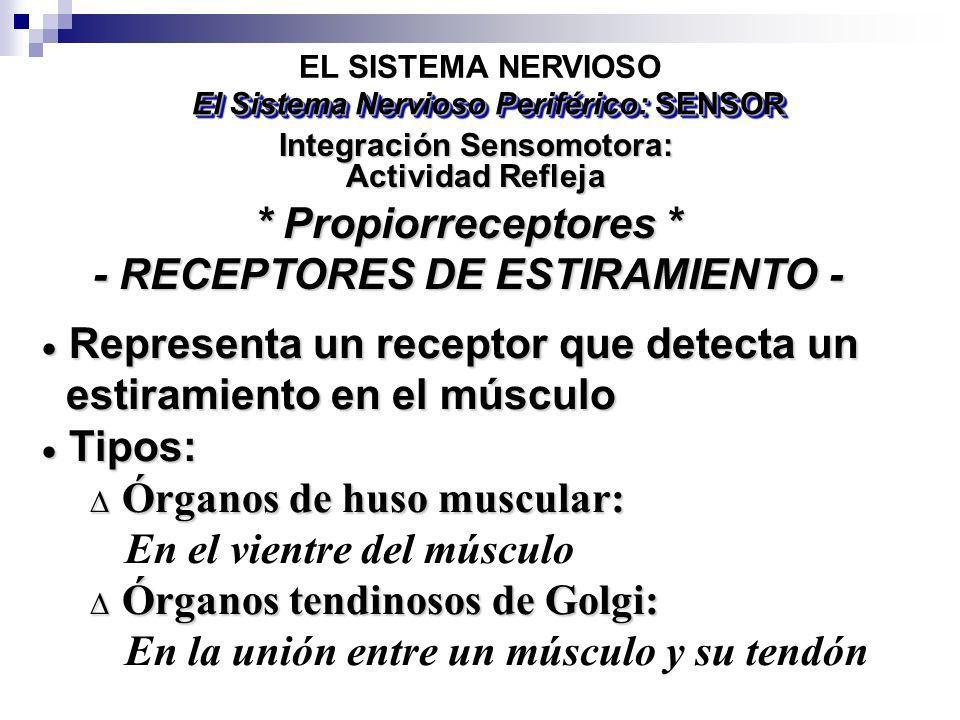 * Propiorreceptores * - RECEPTORES DE ESTIRAMIENTO -