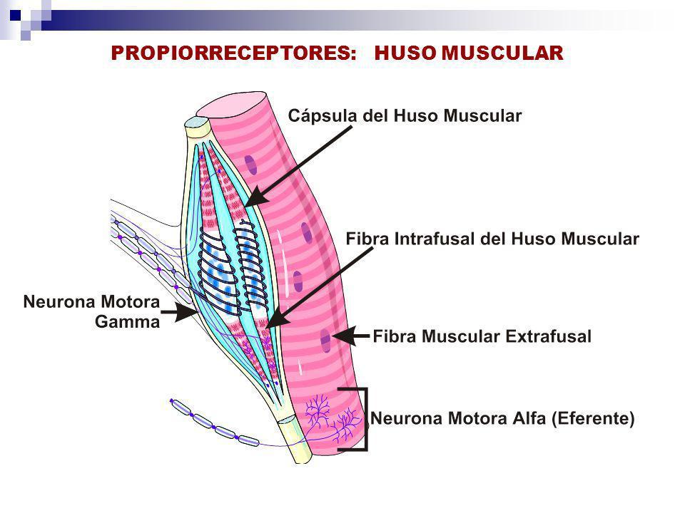 PROPIORRECEPTORES: HUSO MUSCULAR