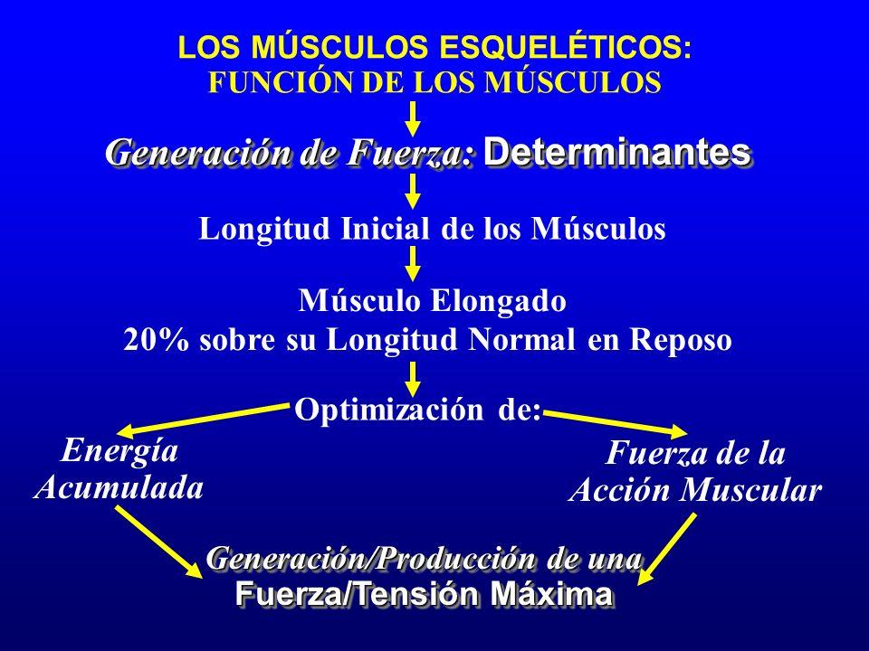 Longitud Inicial de los Músculos Músculo Elongado Optimización de: