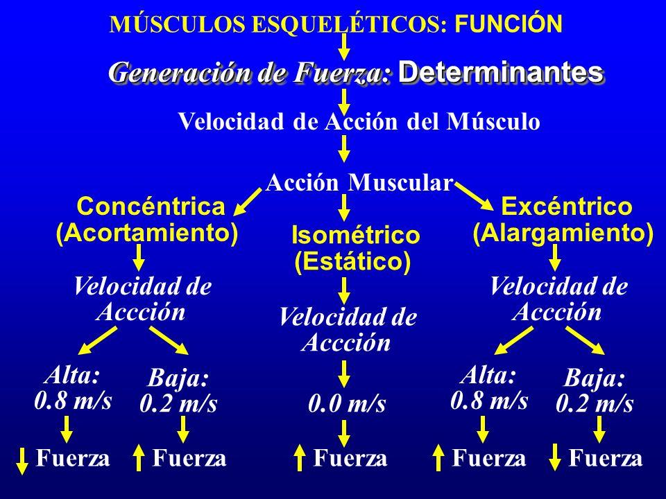 Velocidad de Acción del Músculo