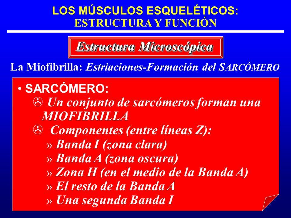 La Miofibrilla: Estriaciones-Formación del SARCÓMERO