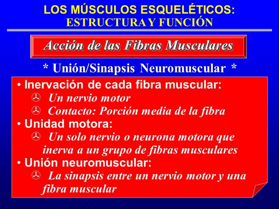 Acción de las Fibras Musculares