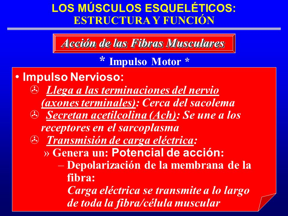 * Impulso Motor * Impulso Nervioso: Acción de las Fibras Musculares