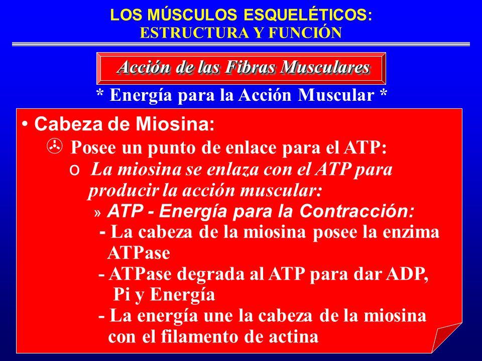* Energía para la Acción Muscular *
