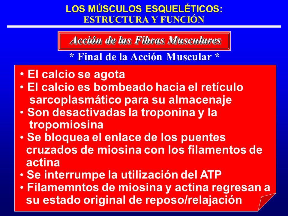 * Final de la Acción Muscular *