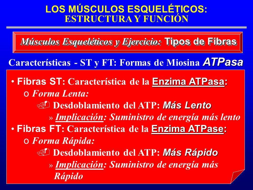 Características - ST y FT: Formas de Miosina ATPasa