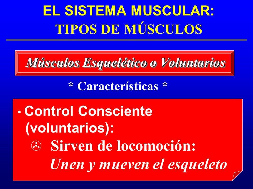 EL SISTEMA MUSCULAR: TIPOS DE MÚSCULOS