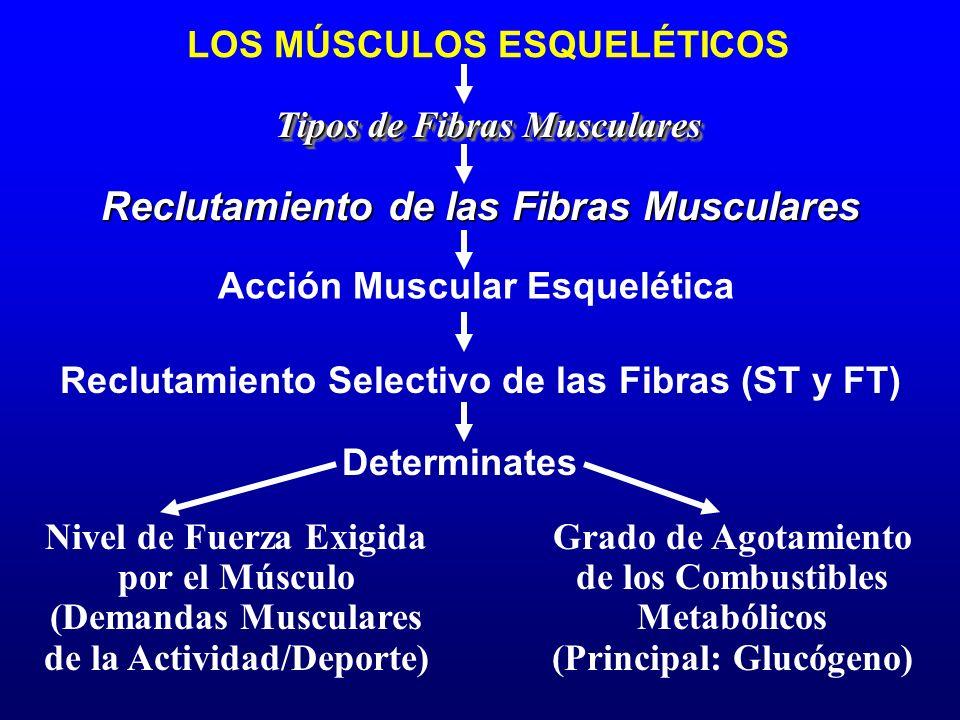 Reclutamiento de las Fibras Musculares