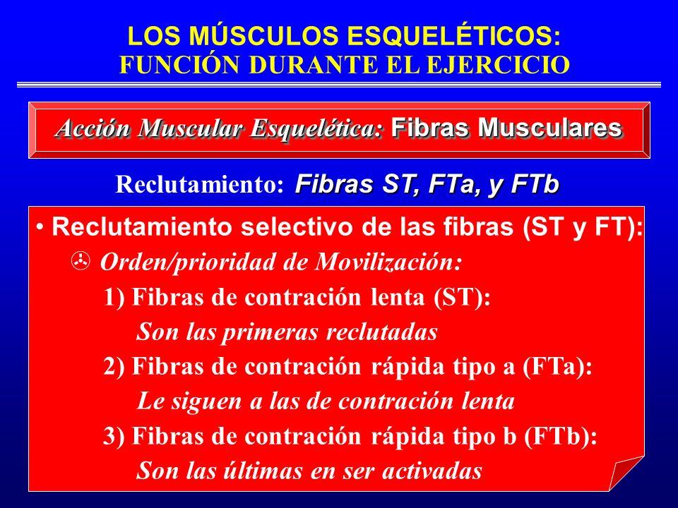 Reclutamiento: Fibras ST, FTa, y FTb