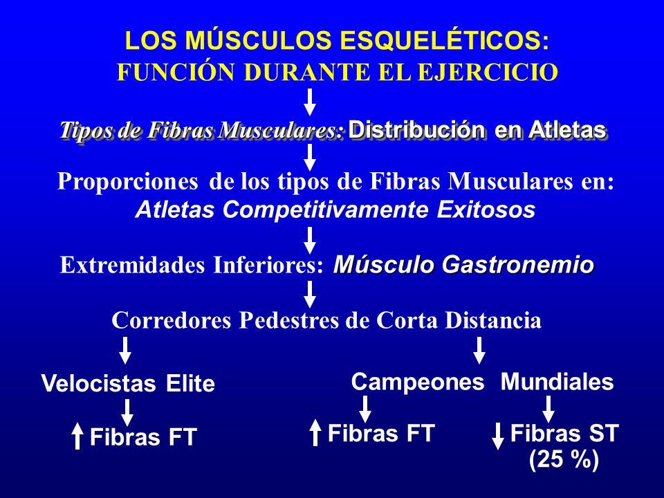 Proporciones de los tipos de Fibras Musculares en: