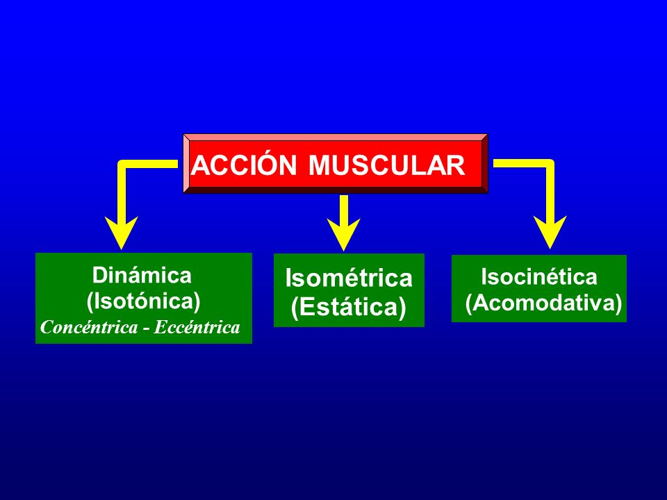 ACCIÓN MUSCULAR Isométrica (Estática) Dinámica Isocinética (Isotónica)