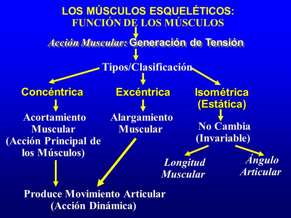 Tipos/Clasificación Concéntrica Excéntrica Isométrica (Estática)