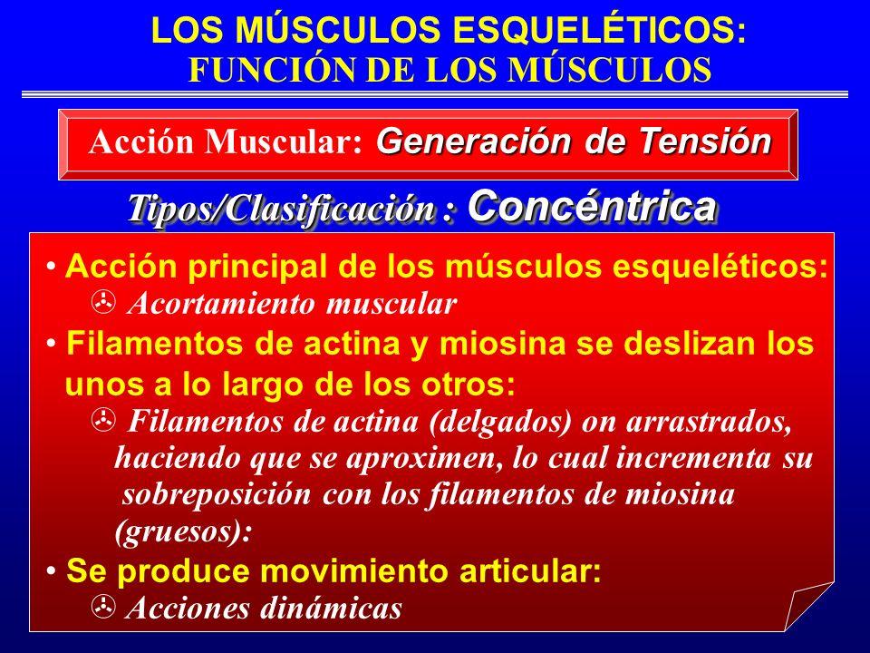 Acción Muscular: Generación de Tensión