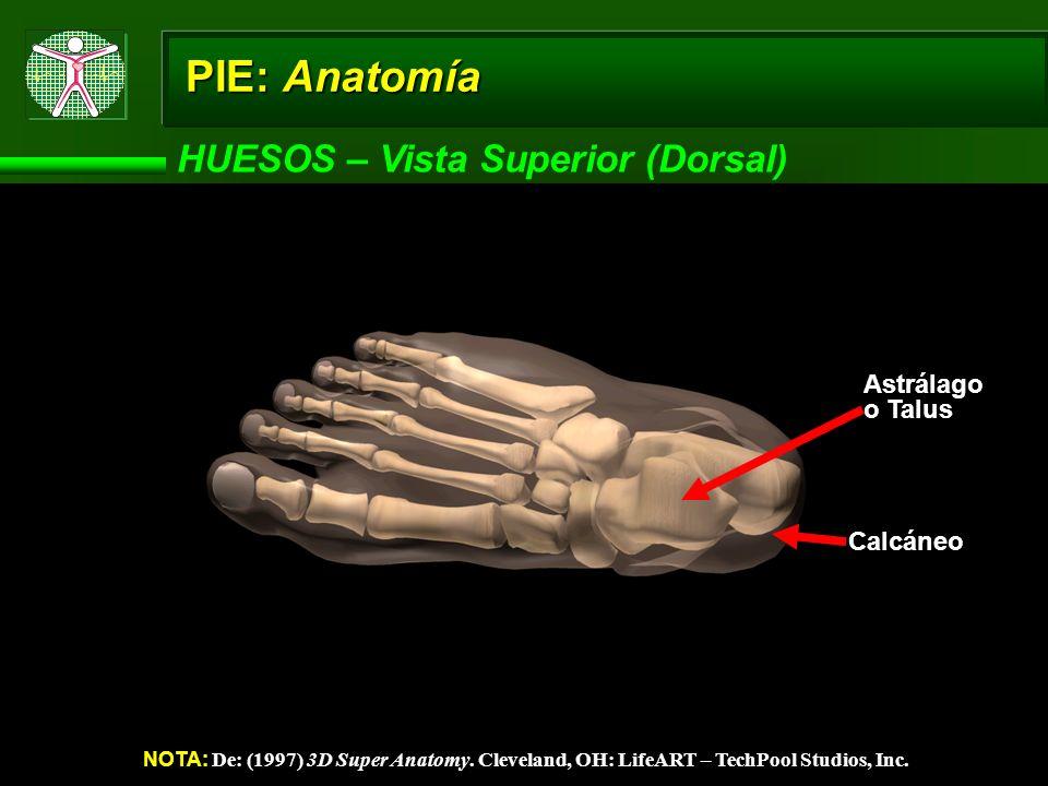 PIE: Anatomía HUESOS – Vista Superior (Dorsal) Astrálago o Talus