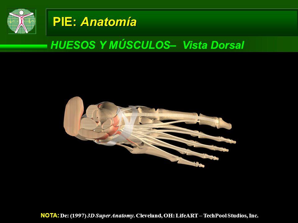PIE: Anatomía HUESOS Y MÚSCULOS– Vista Dorsal