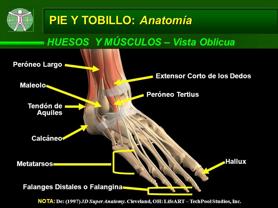 PIE Y TOBILLO: Anatomía