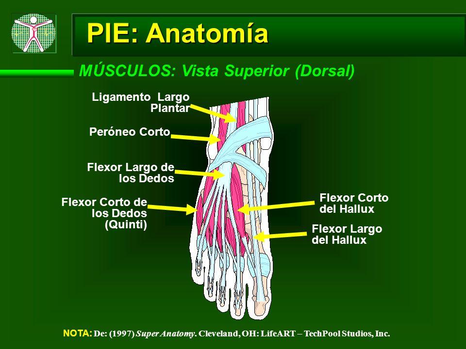 PIE: Anatomía MÚSCULOS: Vista Superior (Dorsal)