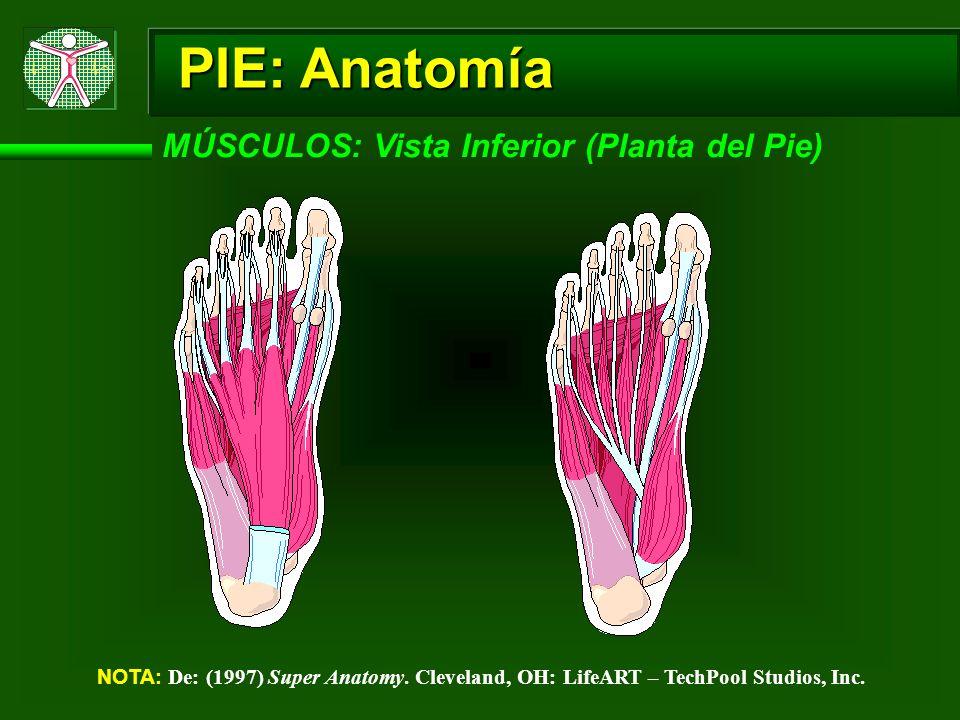 PIE: Anatomía MÚSCULOS: Vista Inferior (Planta del Pie)